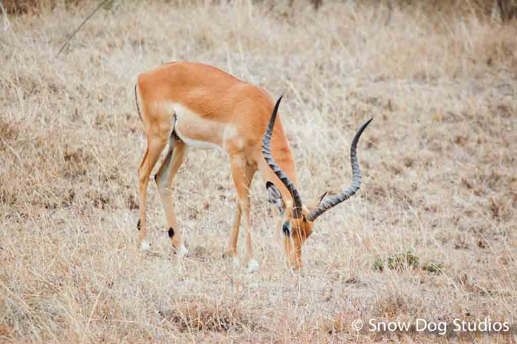 Male Impala, Masai Mara National Reserve, Kenya