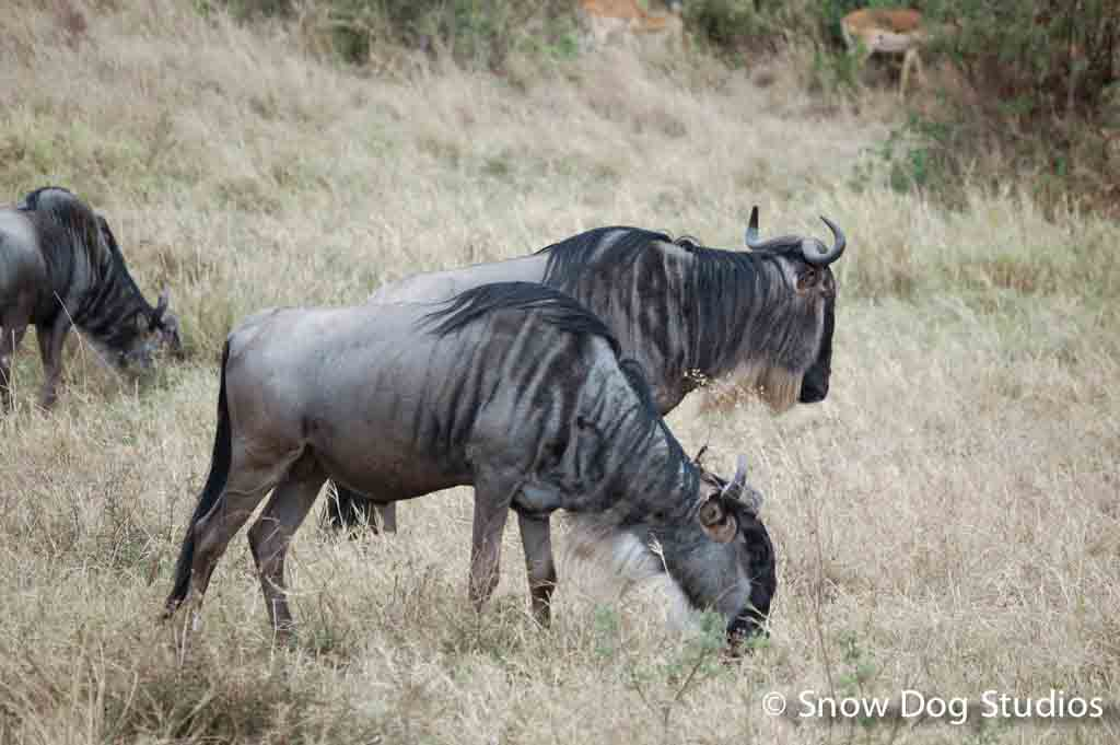 Wildabeest Pair, Masai Mara National Reserve, Kenya