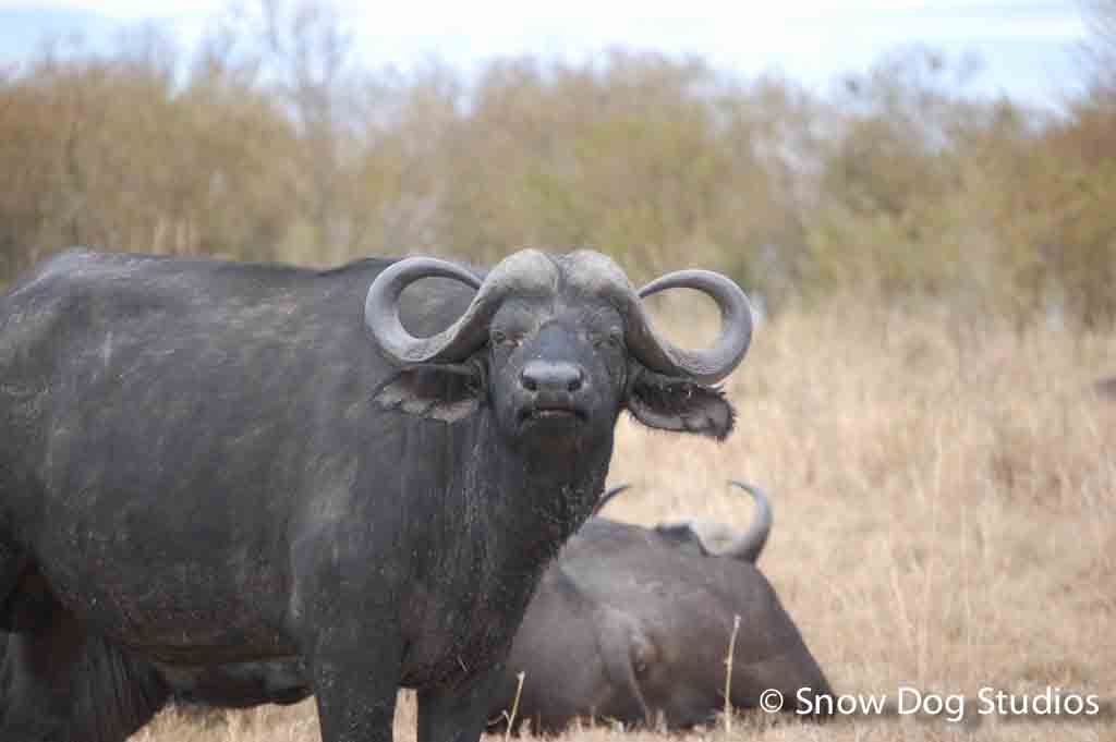 Cape Buffalo, Masai Mara National Reserve, Kenya