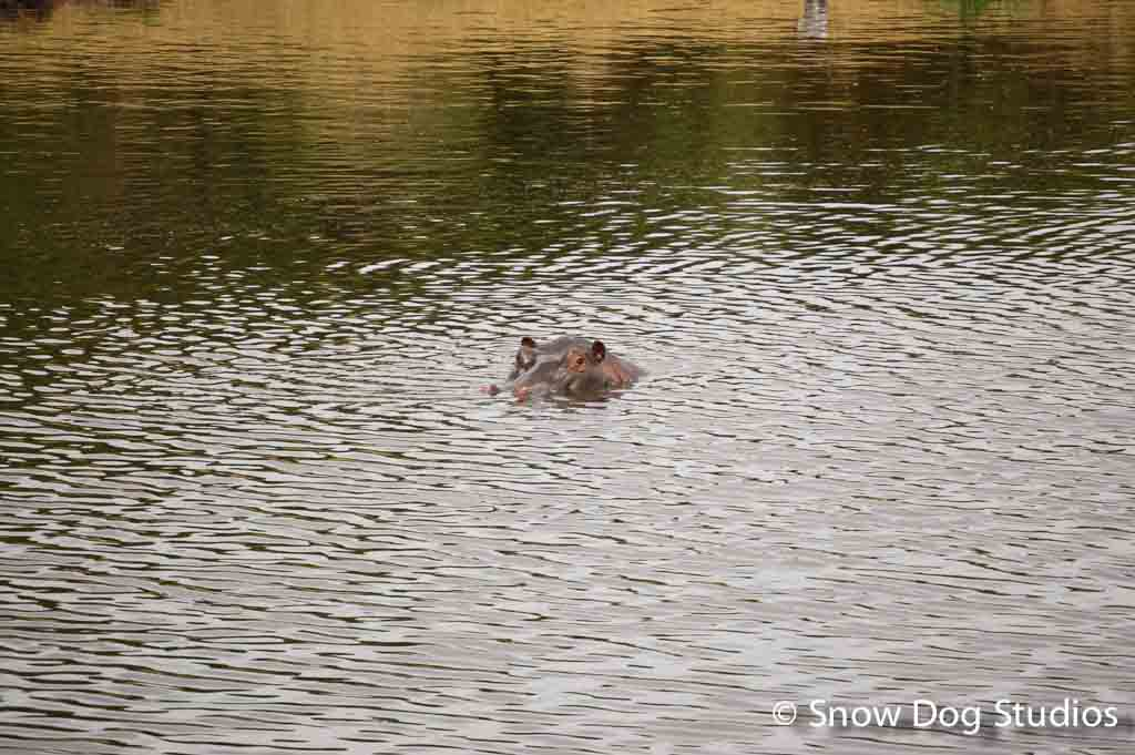 Hippo in Pond, Masai Mara National Reserve, Kenya
