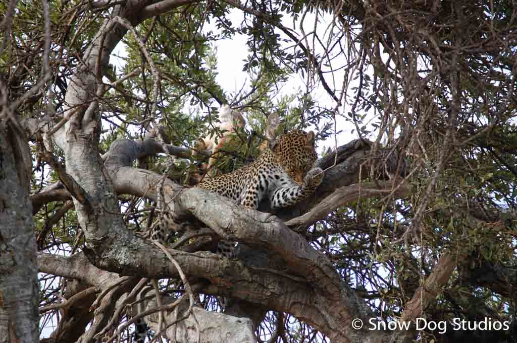 Leopard with Kill, Masai Mara National Reserve, Kenya