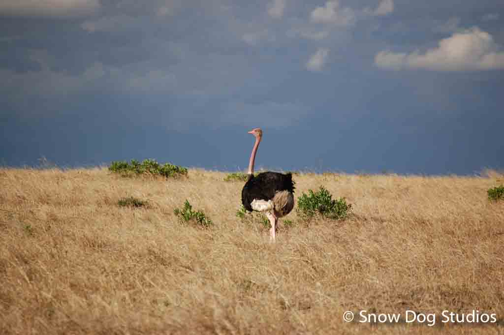 Male Ostrich, Masai Mara National Reserve, Kenya