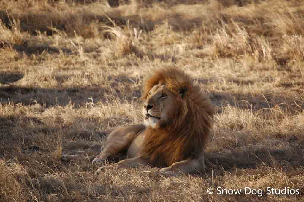 Male Lion Relaxing, Masai Mara National Reserve, Kenya
