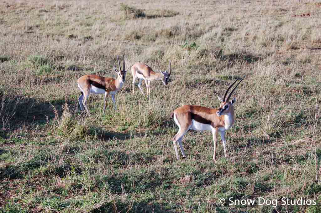 Thomson's Gazelle, Masai Mara National Reserve, Kenya