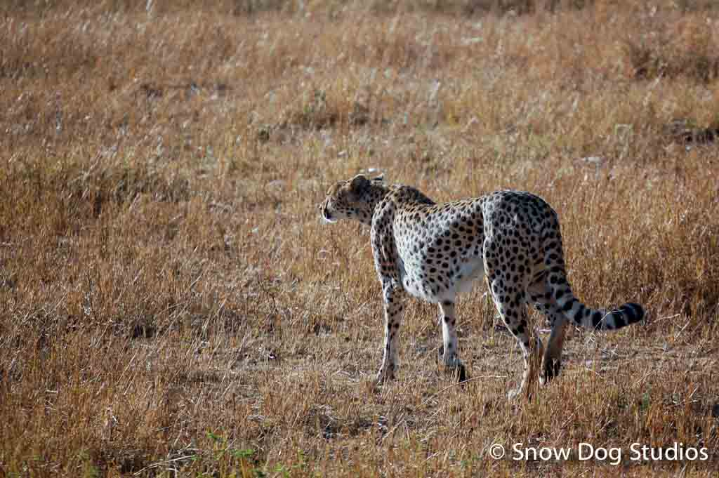 Cheetah searching for Dinner, Masai Mara National Reserve, Kenya