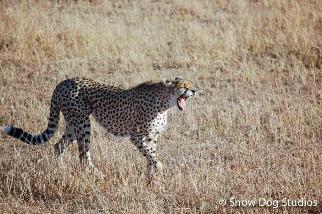 Cheetah on the Prowl, Masai Mara National Reserve, Kenya