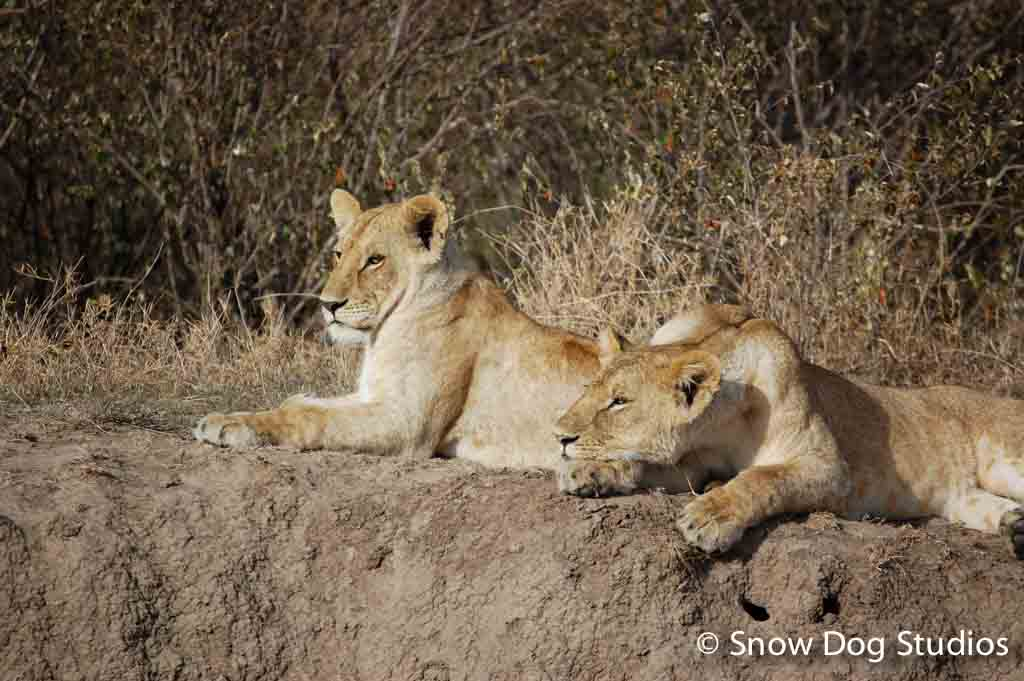 Lionesses enjoying the afternoon sun, Masai Mara National Reserve, Kenya