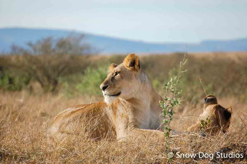 Lioness with Cub, Masai Mara National Reserve, Kenya