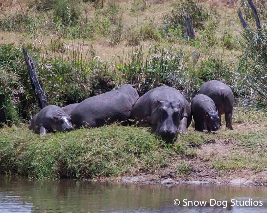 Hippos at the pond, Masai Mara National Reserve, Kenya