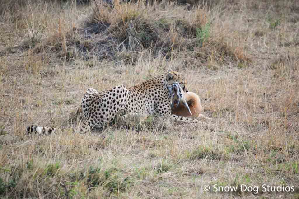 Cheetah with Fresh Kill, Masai Mara National Reserve, Kenya