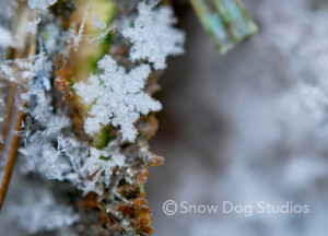 Snowflake on bark and fir needles